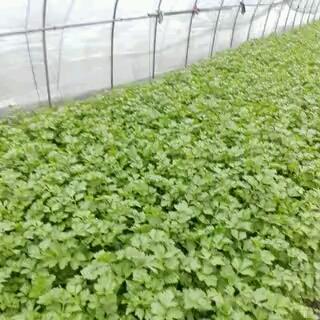 浙江省杭州市萧山区香芹 50~55cm 大棚种植 0.5斤以下
