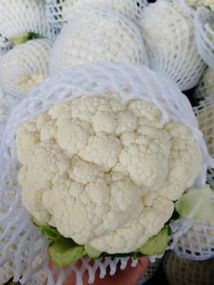 河北省邯郸市永年县白花菜花 紧密 1~2斤 乳白色