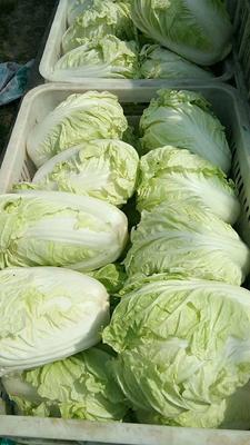河北省邯郸市永年县夏阳白菜 1~2斤 净菜