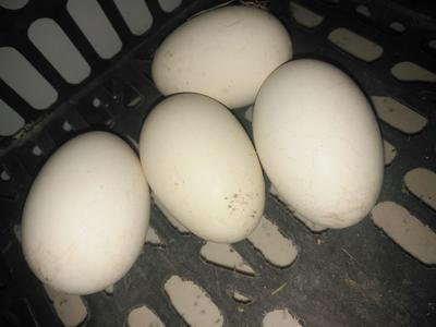 吉林省白城市镇赉县土鹅蛋 食用 散装