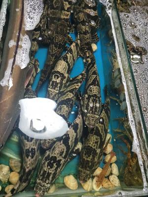 广东省阳江市江城区珍珠龙胆石斑鱼 人工殖养 0.5公斤以下