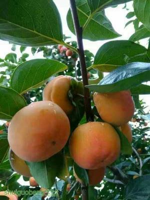 日本次郎甜柿苗