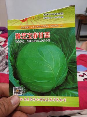 河南省商丘市柘城县牛心甘蓝 2.0~2.5斤