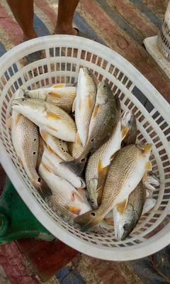 广东省珠海市斗门区美国红鱼 人工殖养 1-1.5公斤