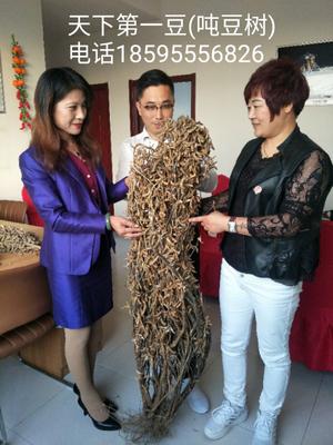 河南省周口市太康县豆角种子 ≥95%