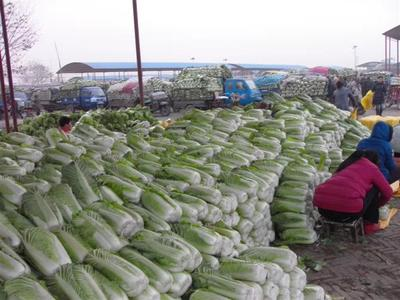 河北省保定市定州市阳春白菜 3~6斤 毛菜