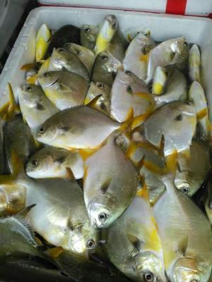 广西壮族自治区北海市银海区金鲳鱼 人工养殖 1-1.5公斤