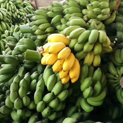 这是一张关于小米蕉 八成熟 40斤以下的产品图片