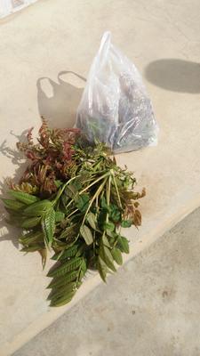 陕西省西安市蓝田县红香椿芽 露天种植 袋装 一级