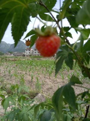 浙江省台州市仙居县野生树莓 鲜果