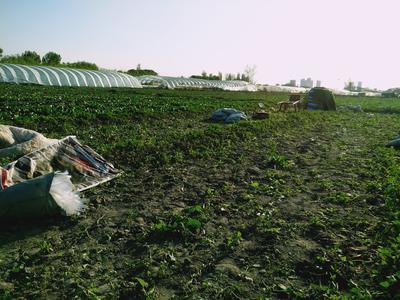 新疆维吾尔自治区乌鲁木齐市新市区越冬菠菜 15~20cm
