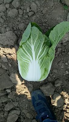 山东省青岛市平度市菊锦春白菜 6~10斤 毛菜