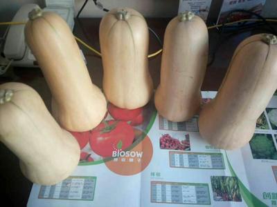 陕西省汉中市城固县奶油南瓜 1~2斤 长条形