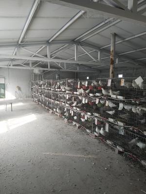 新疆维吾尔自治区昌吉回族自治州吉木萨尔县白鸽蛋 食用 礼盒装