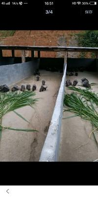 福建省龙岩市新罗区中华豪猪 20-30斤