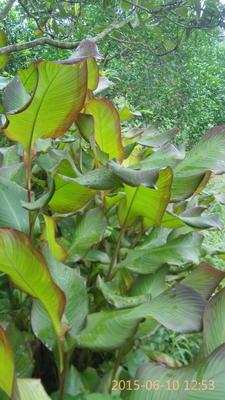 广西壮族自治区柳州市融安县紫叶美人蕉 2~4cm 2~2.5米