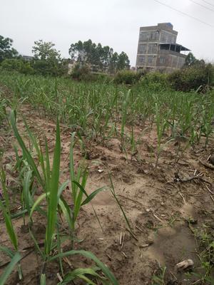 广西壮族自治区防城港市上思县黑皮甘蔗 2 - 2.5m 4 - 5cm