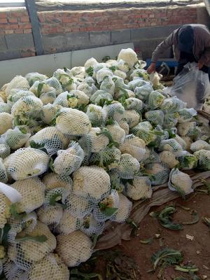 山东省青岛市平度市有机松花菜 适中 3~4斤 乳白色