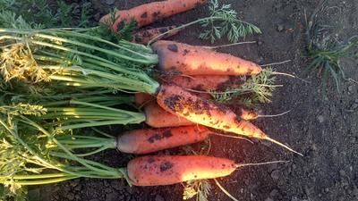 山东省青岛市莱西市三红胡萝卜 15cm以上 3两以上 4~5cm