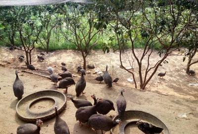 四川省宜宾市南溪区银斑珍珠鸡 2-4斤