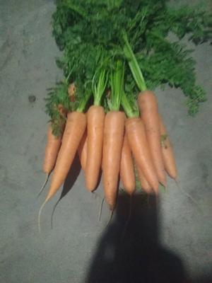 山东省青岛市莱西市808胡萝卜 15cm以上 2两以下 3cm以下
