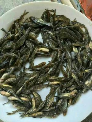 广东省广州市花都区杂交黄骨鱼 人工殖养 0.05公斤