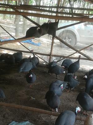 海南省东方市东方市灰色珍珠鸡 2-4斤