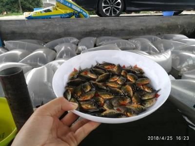 广东省广州市花都区白鲳 人工养殖 0.5公斤以下