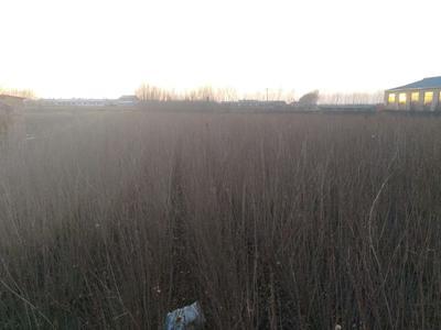 黑龙江省哈尔滨市松北区小叶丁香 4cm以下 2cm以下 0.5~1米