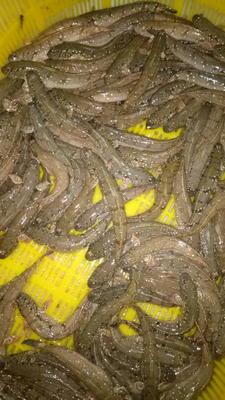 广西壮族自治区北海市海城区乌鳢 人工养殖 0.5公斤以下