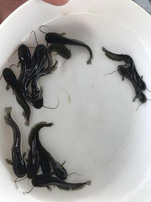 广东省广州市花都区大口鲶鱼 人工养殖 0.5龙8国际官网官方网站以下