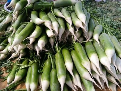 安徽省淮南市潘集区青皮萝卜 1~1.5斤