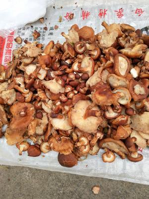 云南省丽江市华坪县蘑菇