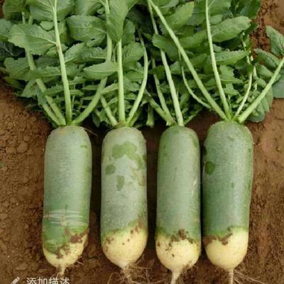 山东省烟台市莱阳市水果萝卜 1.5~2斤