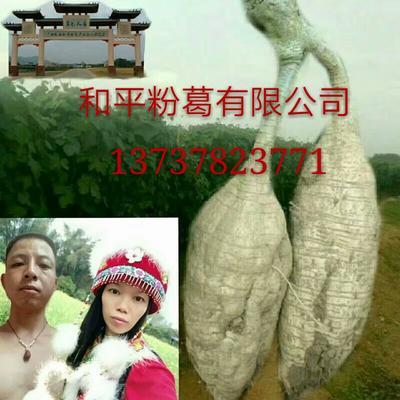 广西壮族自治区梧州市藤县粉葛种条
