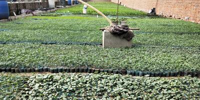 黑龙江省哈尔滨市香坊区黄瓜种苗