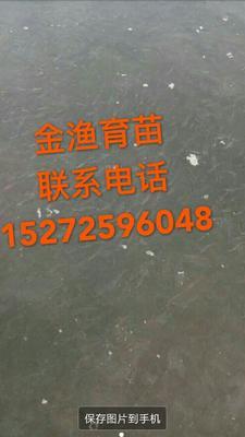 湖北省荆州市沙市区淡水鲈鱼 人工养殖 0.5公斤以下