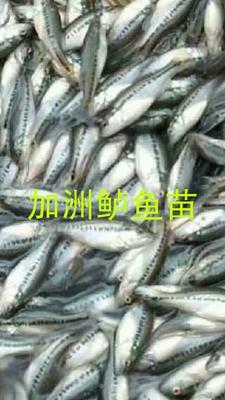 广东省广州市花都区加州鲈鱼 人工养殖 0.5公斤以下