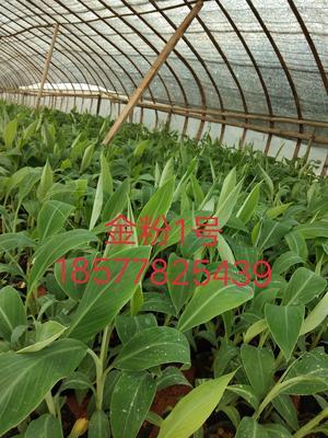 广西壮族自治区南宁市西乡塘区粉蕉苗