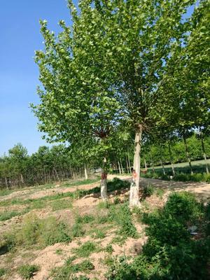 山东省菏泽市牡丹区法国桐树