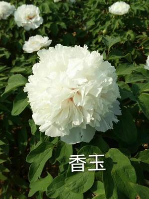 山东省菏泽市牡丹区观赏牡丹 2cm以下 20cm以上 0.5米以下