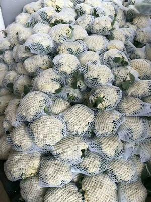 河北省邯郸市永年县松花菜 松散 2~3斤 乳白色