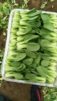 北京大兴区美冠油麦菜 25~30cm以上