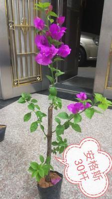 福建省漳州市芗城区紫红三角梅 0.2~0.5米