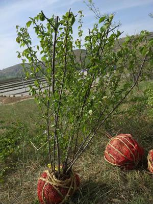宁夏回族自治区固原市彭阳县榆叶梅