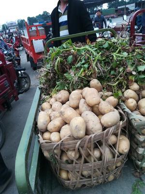 四川省成都市彭州市绿扁豆 2cm以上 15cm以上