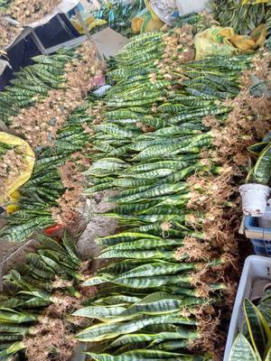 虎皮兰 裸根 防辐射吸甲醛高手室内种植