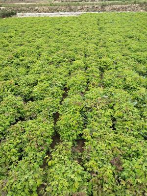 甘肃省定西市临洮县紫斑牡丹 2cm以下 4cm以下 0.5米以下