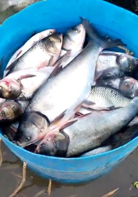 白鲢鱼 野生 1-2.5公斤