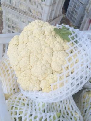 江苏省徐州市沛县白面青梗松花菜 适中 1~2斤 乳白色